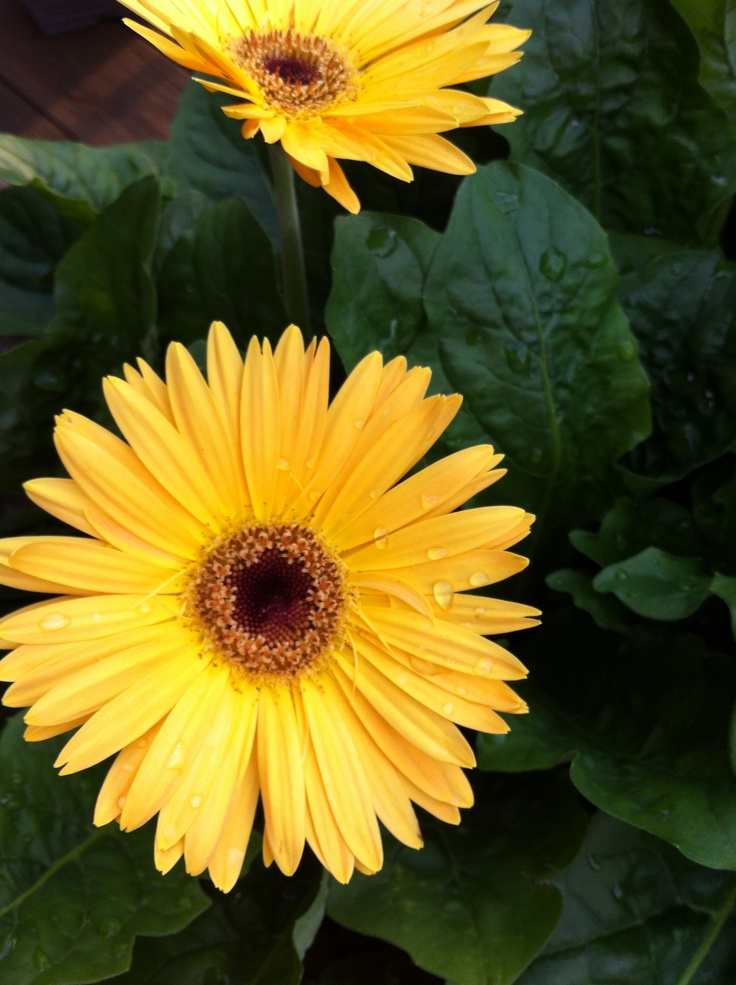 I'm obsessed with gebera daisies :) photo by: Jill Bartholomew 9/28/12