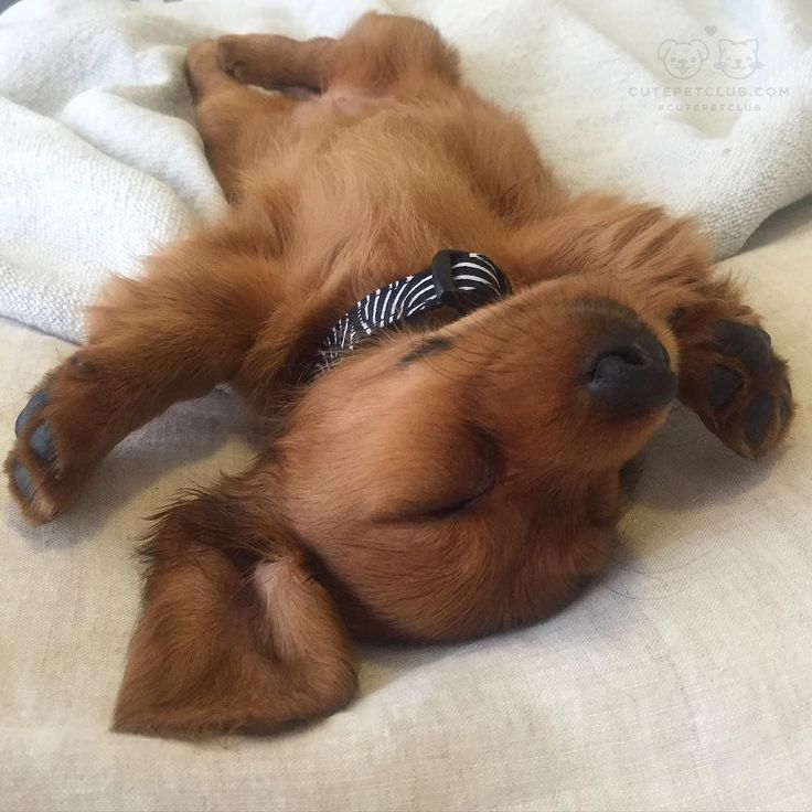 How does your doxie sleep?