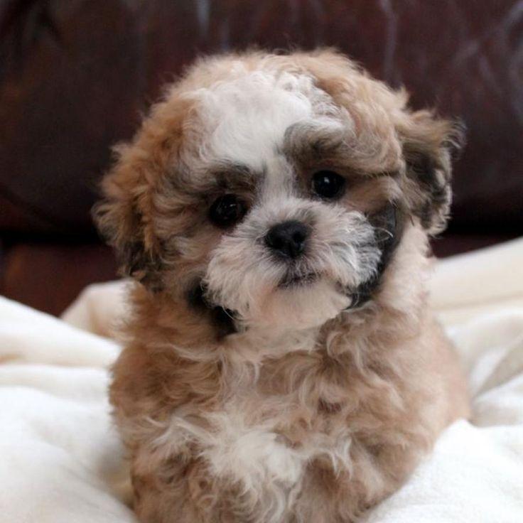 Teddy Bear Puppies For Sale Near Me In Colorado
