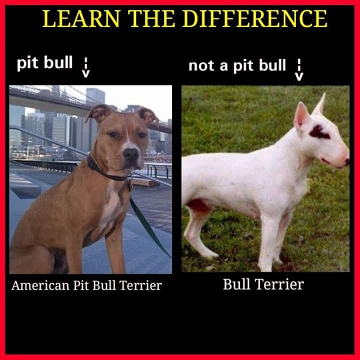 Pin On Pit Bull Facts
