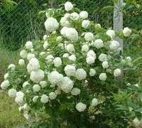 Boule de neige ou viburnum opulus est un ecellent arbuste facile à vivre qui ne demande que très peu de soin, andré LEAL jardinier paysagiste vous le conseille pour Plougastel et sa région.