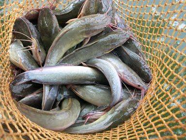 Kenapa Harus Budidaya Ikan Lele? - okezonet.com | okezonet.com