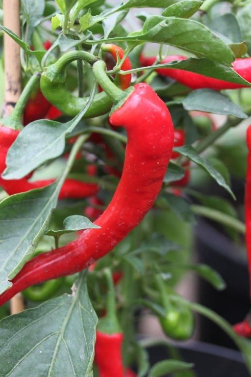 Cayenne thick, a bigger and fatter version of the ever popular - easily grown- Cayenne Chili www.fuglebjerggaar.dk