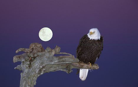 picture of Bald Eagle With Full Moon Homer Alaska..Wyatt we loved you to the moon & back when gramma & pappo lived there