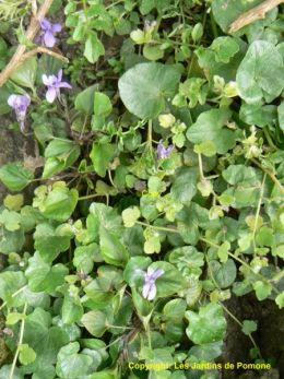 Salade de haricots verts aux violettes