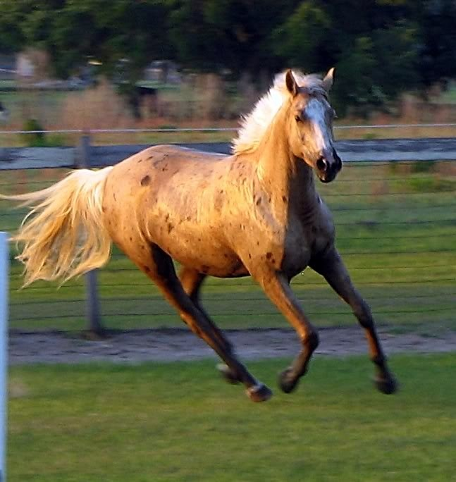 Palomino Anglo Arabian mare with Bend Or spots, Deep Gold