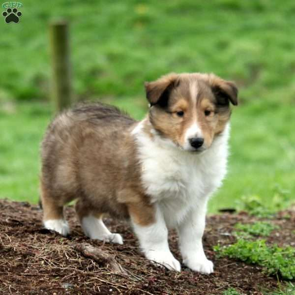 Hunter Collie Puppy For Sale In Pennsylvania Collie Puppies