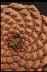 pinecone