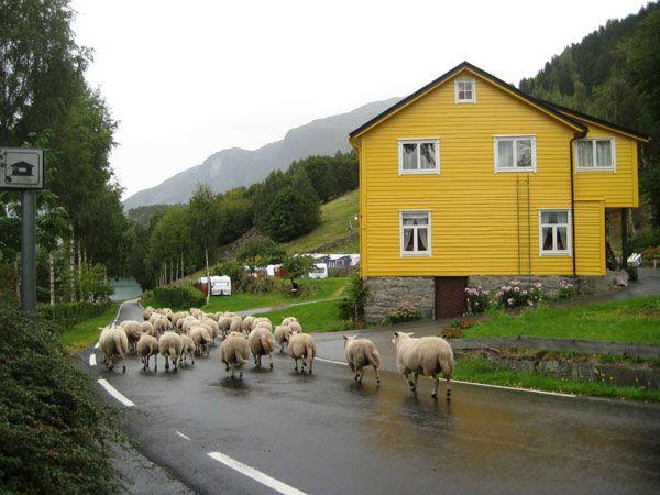 Sheep walking down the road in rural Norway (Loen, Norway)