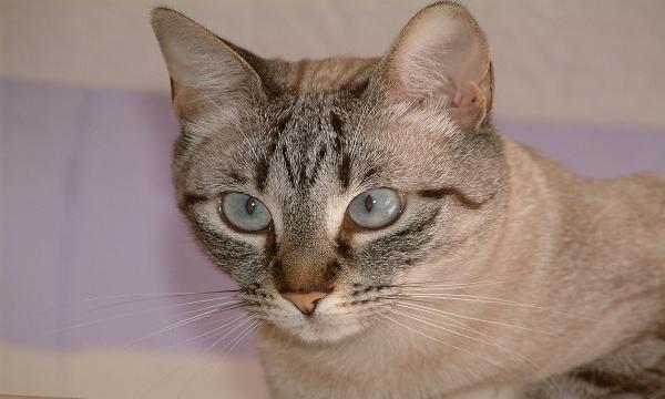 manx cats   El curioso gato Manx