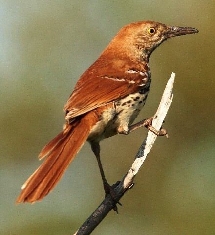 Brown Thrasher, had a nesting pair in the white fringe tree this summer.