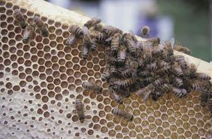 Grants for Raising Honey Bees thumbnail
