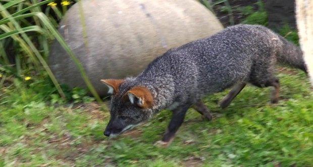 Encuentran población de zorros de Darwin en Puerto Octay