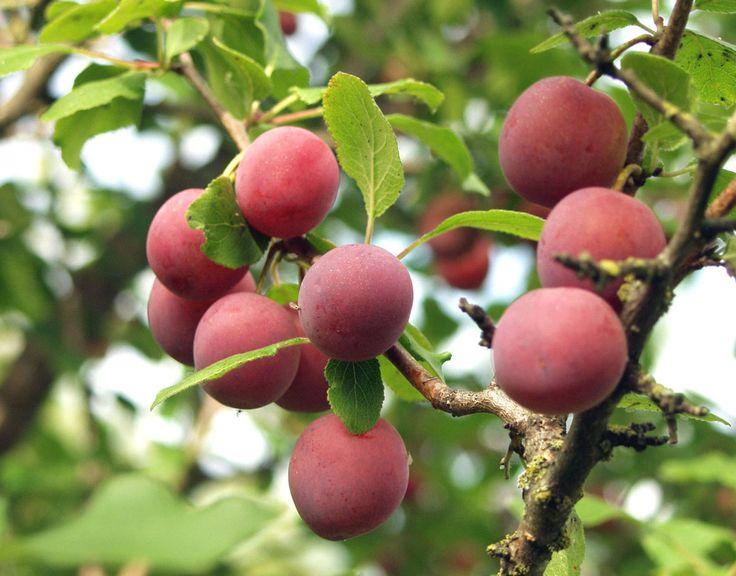 Prunus domestica 'Kuntala', Mognar i början av augusti. Bra pollineringssort. Zon III. Bild: Taimistoviljelijät