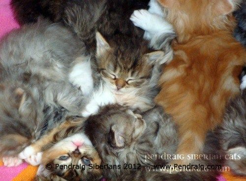 Siberian Kittens for Sale Adoption | CFA & TICA | TX Breeder Pendraig