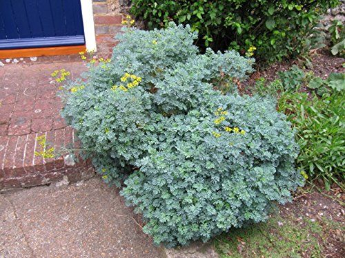 0.3g (approx. 150) common rue seeds RUTA GRAVEOLENS A Homeopathic First Aid Remedy