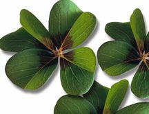 ¿Por qué hay tréboles de cuatro hojas?