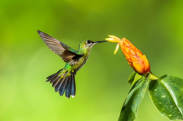 Hummingbird Photo, Hummingbird Print, Nature Print, Fine Art Print, Bird Picture, Bird Photography, Hummingbird Art, Green-crowned Brilliant by GreyGhostNaturePhoto on Etsy https://www.etsy.com/listing/253101209/hummingbird-photo-hummingbird-print