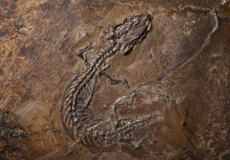 A 47 million-year-old lizard specimen found in Germany indicates that snakes and the limbless lizards that superficially resemble them evolved independently.