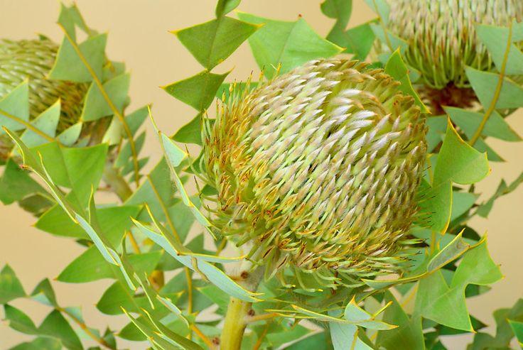 Banksia baxteri. Greetings from Gondwanaland!