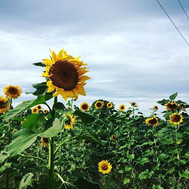 【momo606momo】さんのInstagramをピンしています。 《秋ですよー!!んんん??? 今日はコスモス、さくら、ひまわり。。。春夏秋。。。 #秋ですよー#あれれ #んんん??#ひまわり#ひまわり畑#発見#今日は変#春夏秋#一度に#秋桜#桜#向日葵#異常??#みんな間違えたかな#コスモスの季節#のはず。。。》