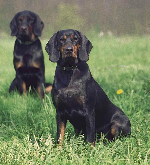 Gończy polski  / Polish Hunting Dog / Polish Scenthound  #Gonczy_polski #Polish_hunting_dog #Polish_scenthound #Dog_breeds #Polish_dogs #Polish_dog_breeds