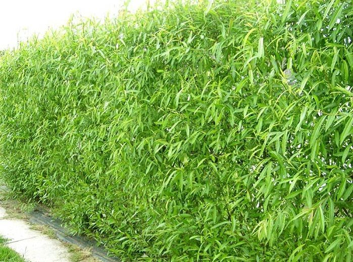 106 best Living Fence Ideas images on Pinterest Privacy hedge