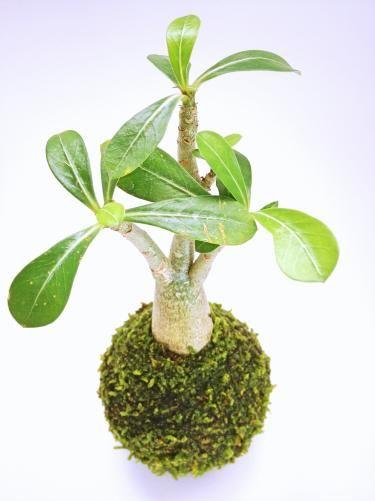 苔玉(アデニウム) - tito mossball, BONSAI