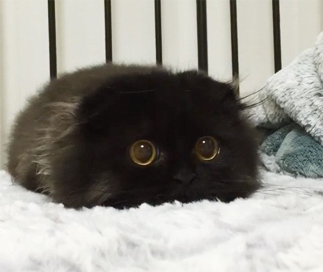 Like A Tribble With Eyes: Gimo The Big-Eyed Cat | Geekologie