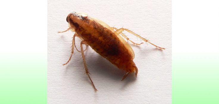 La scoperta choc: ecco come comunicano gli scarafaggi - http://www.sostenitori.info/la-scoperta-choc-comunicano-gli-scarafaggi/268793