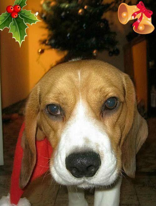 """Nevezz be te is beagle kutyádról készült, karácsonyi, vagy szilveszteri fényképeddel!Ha a fotódat a szerkesztők beválogatják a legjobbak közé... #bchufotopalyazat2015 #beagle #kutya #beagleclub """"Mogyi a mikulás"""" @tothmogyi  Karácsonyi (Ünnepi) Beagle Fotópályázat: http://bit.ly/beaglekaracsonyiunnepibeaglefotopalyazat  KÉPEK: http://bit.ly/beagleclubhu-fp-kepek"""