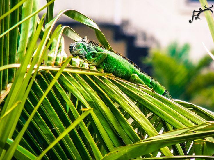 iguana tomando el sol en una palma en las playas de michoacan