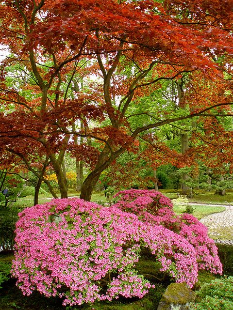 Japanese garden - Japanese maple trees are green in the summer and turn colour later