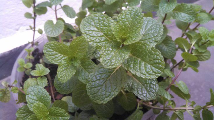Como manter seu hortelã sempre bonito/How to keep your mint always beaut...                                                                                                                                                     Mais