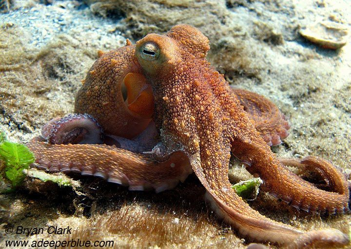 octopus - Phil Foster Park - Snorkel Trail - photographed by Bryan Clark - adeeperblue.com
