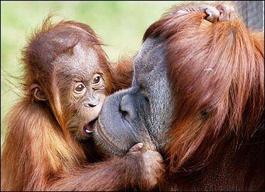 Mother Orangutan and her baby: Babies, Kiss, Mothers, Monkeys, Orangutans, Baby Animals, Baby Orangutan, Mom