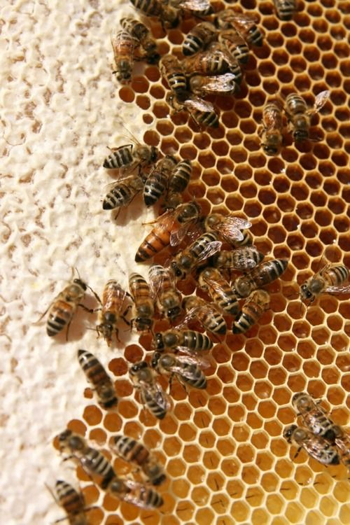 Worker bees, filling, drying and capping honey comb cells. That's the queen there in the center.