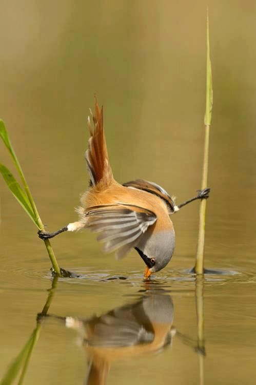 Bird is getting a drink of water using two reeds to hold himself up--clever little creature