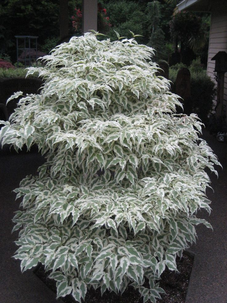Garden Bush: Kousa Dogwood 'Summer Fun'. Cornus Kousa. 10' Tall