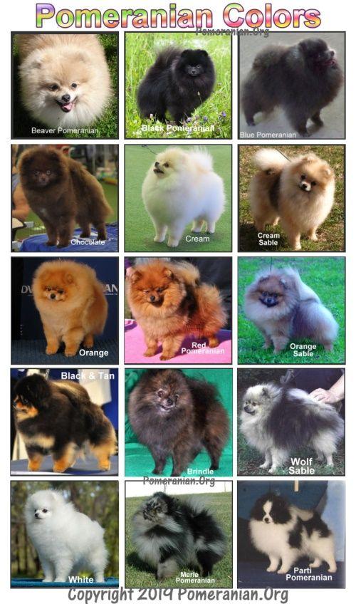Pomeranian Colors Pomeranian Colors Pomeranian Puppy Cute