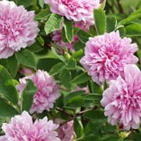 Tornionlaakson-ruusu - Viherpeukalot