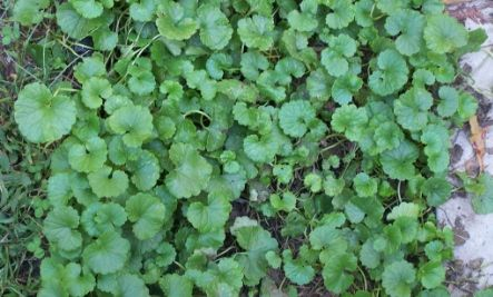 Ground Ivy Companion Plant For Tomatoes Peppers 400 x 300