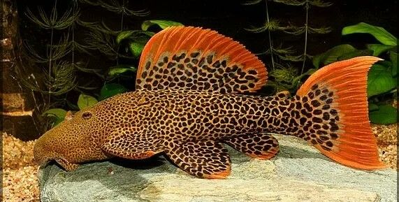 L600 Leopard Cactus Pleco Aquarium Catfish Fresh Water Fish Tank Aquarium Fish