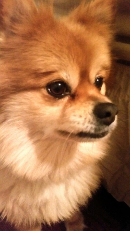 pomeranian life span 38 best images about pom joy on pinterest teacup 315