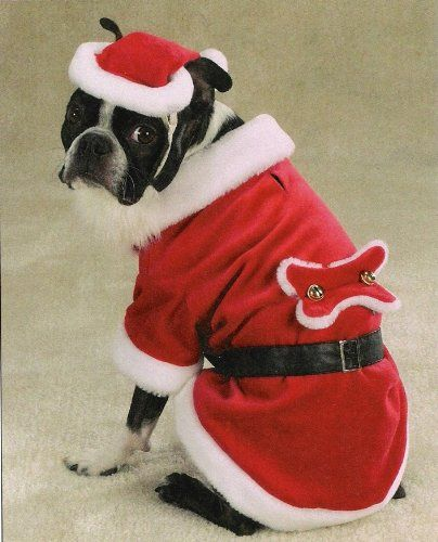 dog christmas costume- a boston terrier dressed up for Christmas in a Santa suit