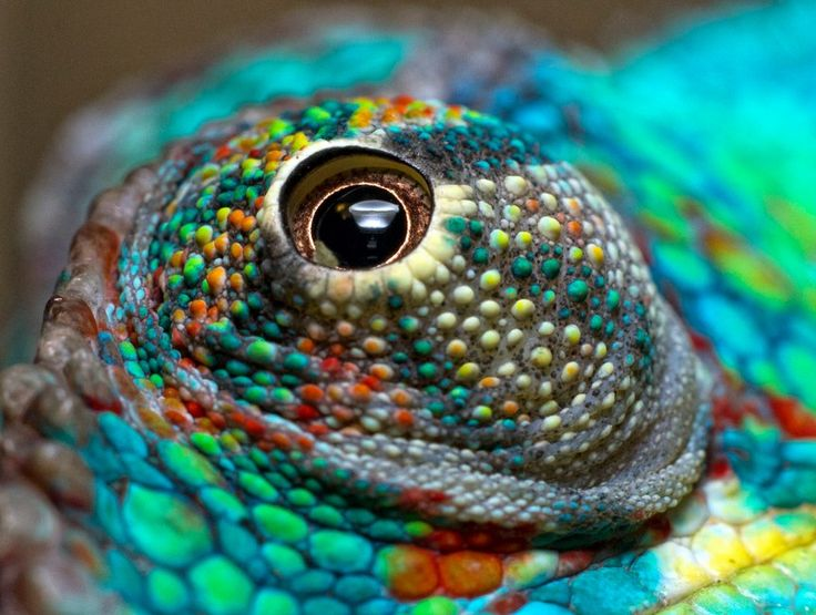 chameleon eye - Google Search | gorgeous | Pinterest ...