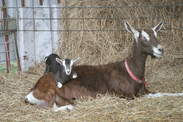 Toggenburg Goat doe and kid