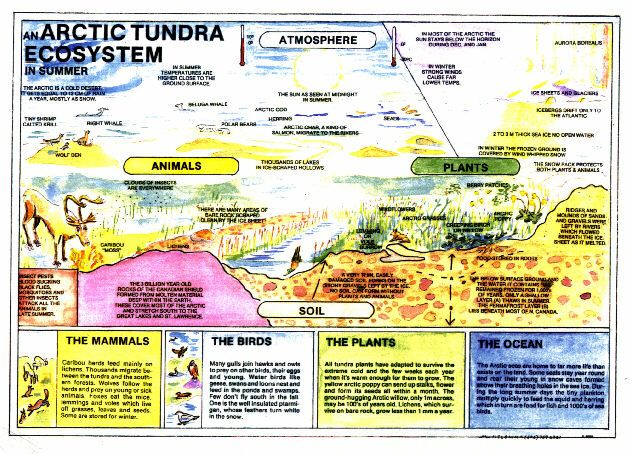 diagram of tundra ecosystem What is the difference among