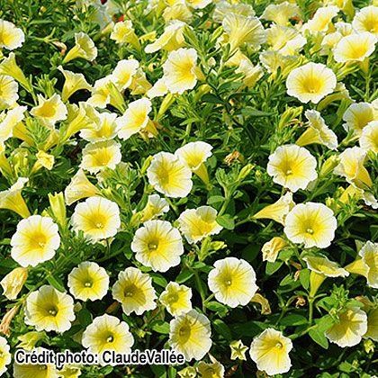 image de Petunia Blanket® Yellow