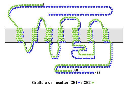 La proteina CB2  tiene una afinidad del 68% con los receptores CB1, pero entre ellos existen una notable diferencia de tamaño.  Estos receptores son mucho más frecuentes en el sistema peiférico (bazo, agmidalas, monocitos y linfocitos B y T). Receptores cannabinoides CB1 y CB2